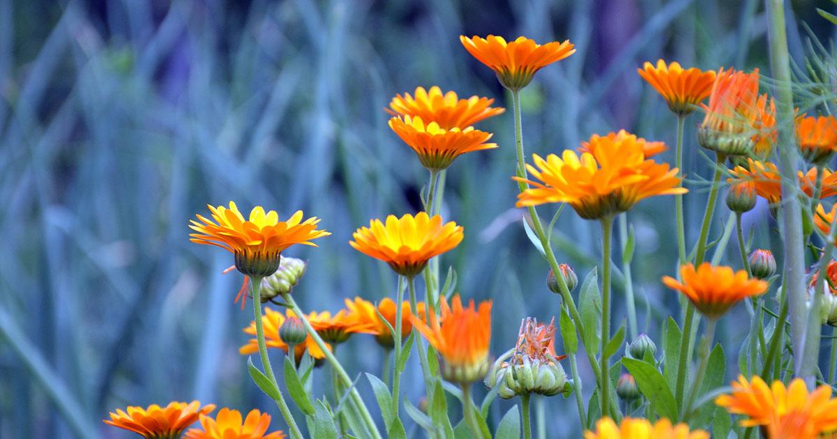 A körömvirág hasznos tulajdonságai a sebek, fekélyek, magas vérnyomás kezelésében - Zöldségek