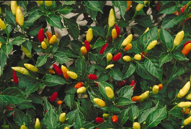 13 növény mely természetes módon képes csökkenteni a gyulladást