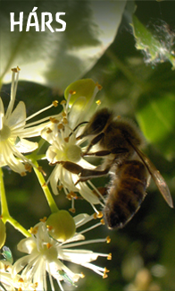 mezei méh a magas vérnyomásból)