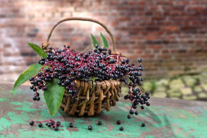 bodza gyümölcs magas vérnyomás ellen