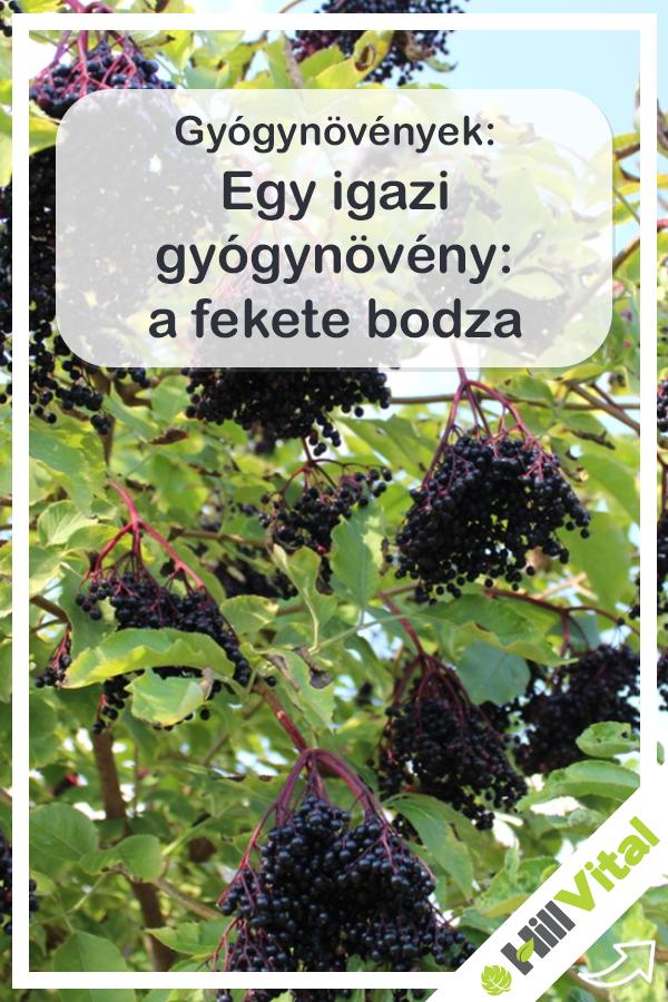 bodza gyümölcs magas vérnyomás ellen)