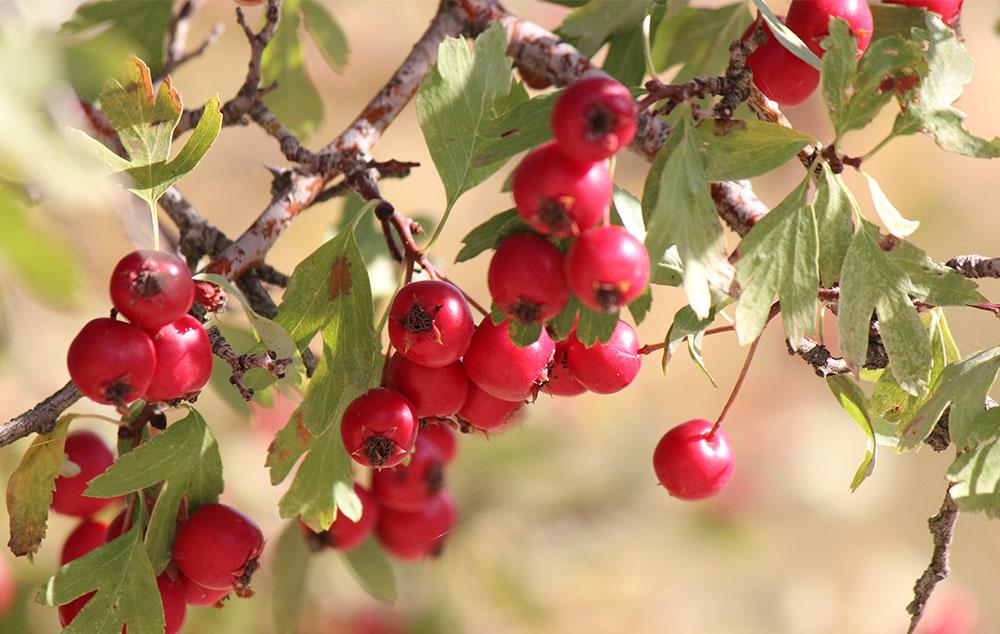 galagonya gyümölcs magas vérnyomás ellen)