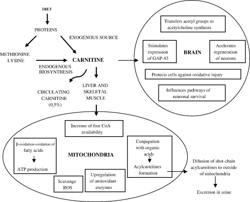 karnitin hipertónia a magas vérnyomás korrekciója