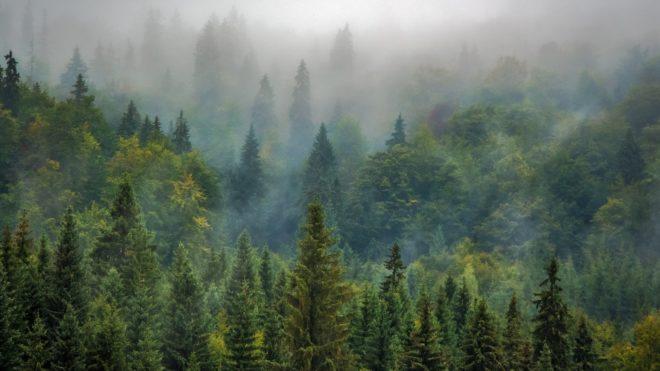 Varázslatos örökzöld erdő: gyógyhatású fenyőfélék | Sokszínű vidék