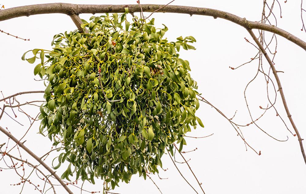 magas vérnyomású fák)