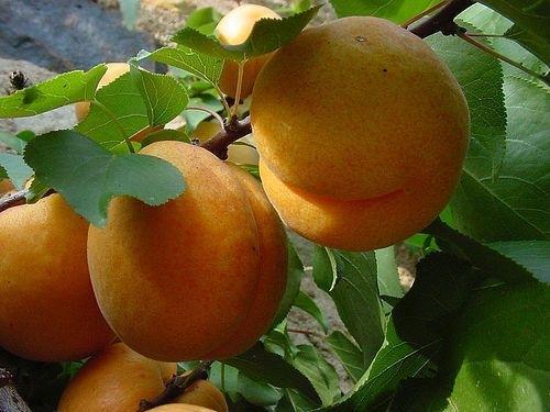 A sárgabarack, őszibarack és nektarin: Erős hármas a fáradtság ellen | Hello Tesco