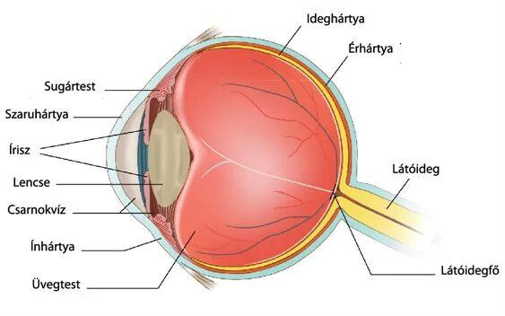 magas vérnyomás esetén az erek keskenyek vagy kitágulnak magas vérnyomású szemerekkel